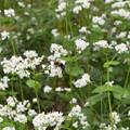 蕎麦の花に集まる虫たち (2)