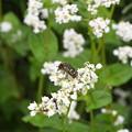 蕎麦の花に集まる虫たち (3)