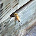 うちのセイヨウミツバチ