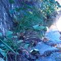 川の中の里芋