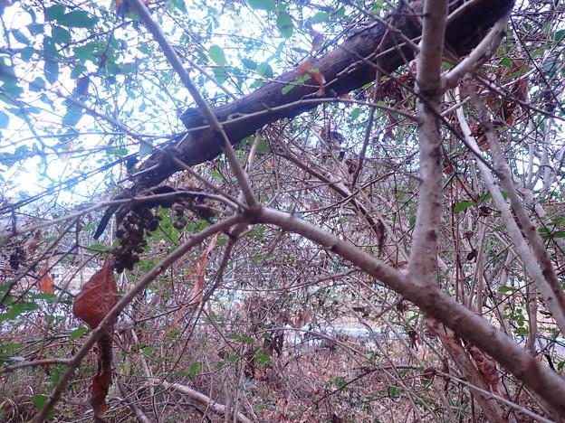 イボタの木(南知多町)