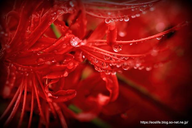 彼岸花と雨の雫