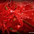 Photos: 彼岸花と雨の雫