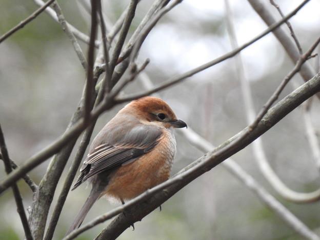 百舌鳥が枯れ木で鳴いている