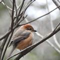 Photos: 百舌鳥が枯れ木で鳴いている