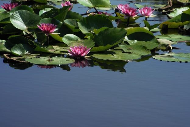 写真: 睡蓮池