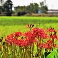 Photos: 秋の彼岸