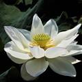 Photos: レンコンの花