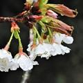 桜は咲いたけど・・・