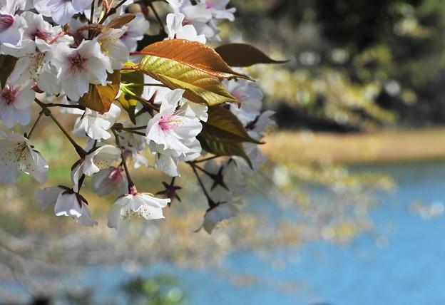 Photos: 湖畔のヤマザクラ