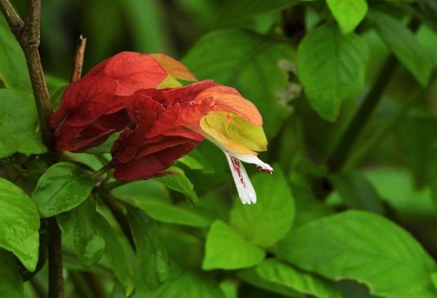 不明な花(コエビソウに判明)