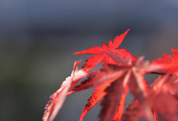 我が家の紅葉