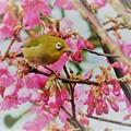 Photos: 緋寒桜に