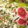 写真: 椿のキラメキ