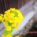 菜の花の優しさ