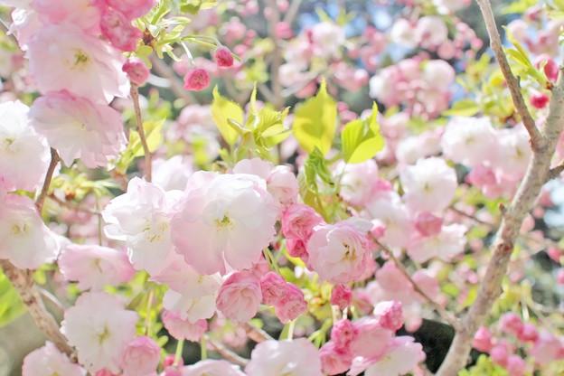 比叡山の桜
