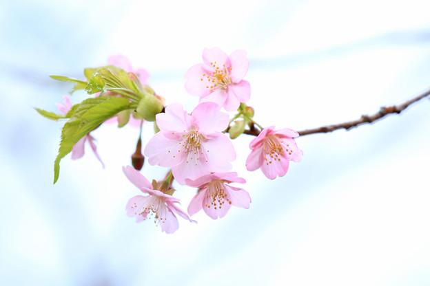 ピンクの花びら
