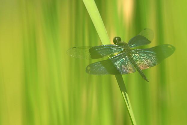 蝶トンボ7