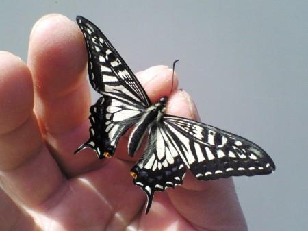 羽化直後のアゲハチョウ