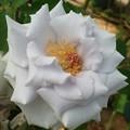 Photos: いろいろな薔薇たち……(6)