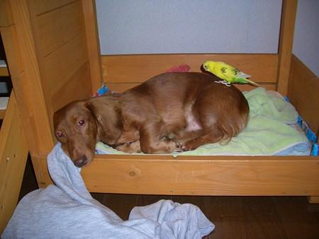 ボク、眠いんだよぉ。。 (--)zzz.。ooOO○