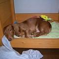 Photos: ボク、眠いんだよぉ。。 (--)zzz.。ooOO○
