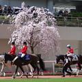 パドックの桜も満開