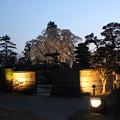 Photos: 庭園内の桜