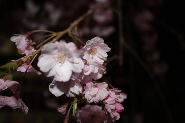 ライト浴びる桜