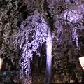 Photos: 彩る桜