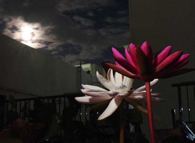 夜咲き熱帯スイレン「ミズーリ」&「ヒロ・ローズ」2
