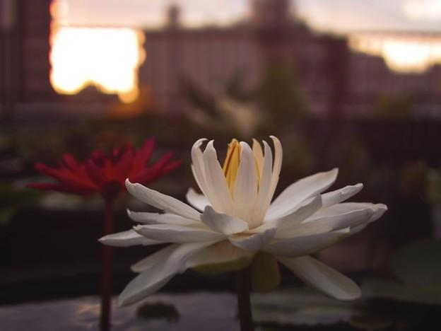 夜咲き熱帯スイレン「ミズーリ」&「ヒロ・ローズ」3