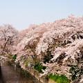 写真: 日本さくら名所百選・五条川