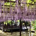 写真: 津島天王川公園の藤