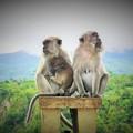 写真: 核家族~インドネシア Monkey family