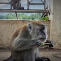 写真: ☆黄昏てアイスバー喰う野猿かな~インドネシア Wild monkey