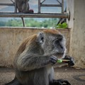 Photos: ☆黄昏てアイスバー喰う野猿かな~インドネシア Wild monkey