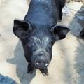 謹賀新年~韓国 Korean New Year Zodiac-Year of the Pig