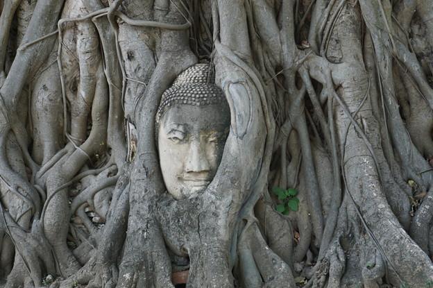精霊の宿る樹~タイ Buddha head in tree roots