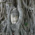 Photos: 精霊の宿る樹~タイ Buddha head in tree roots