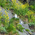 Photos: 菜の花と海猫~韓国 Canola flowers & Black-tailed gulls
