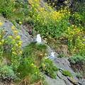 Photos: 菜の花と海猫~韓国 Canola flowers & Black-tailed gulls