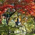 Photos: 紅葉の天蓋~京都栄摂院 Autumn Foliage Canopy