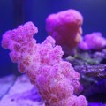 ぬいぐるみ珊瑚~台湾 Carnation Coral