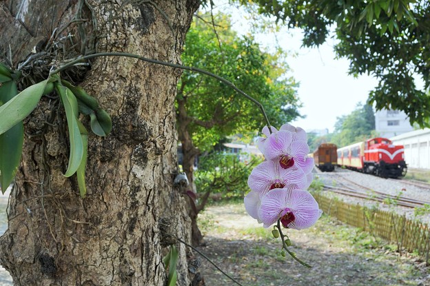 Photos: 着生蘭~台湾 Epiphytic Orchid