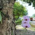 着生蘭~台湾 Epiphytic Orchid