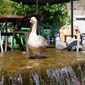 シャウエンの清流~モロッコ River Goose