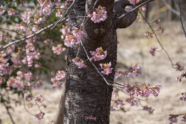 ご近所河津桜
