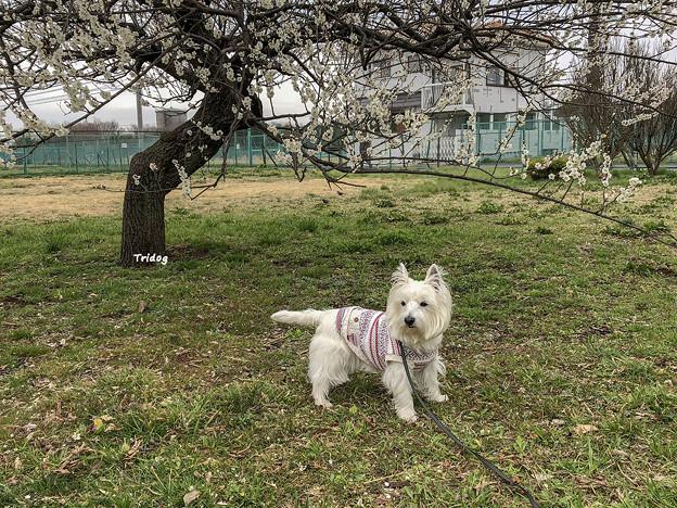 写真: 白梅と白犬