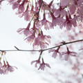 写真: オカメ桜